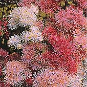 Thalictrum aquilegiifolium 'New Hybrids Mixed' - 1 packet (50 seeds)