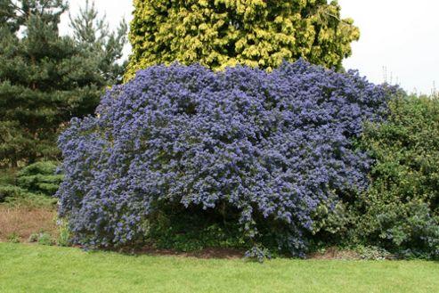 Californian lilac (Ceanothus 'Concha')
