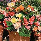 Begonia x tuberhybrida 'Scentsation Mixed' F1 Hybrid - 1 packet (50 seeds)