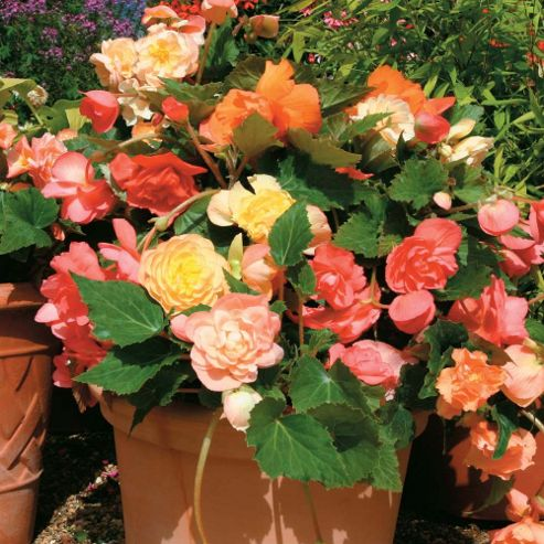 Begonia x tuberhybrida 'Scentsation Mixed' F1 Hybrid - 1 packet (50 seeds)