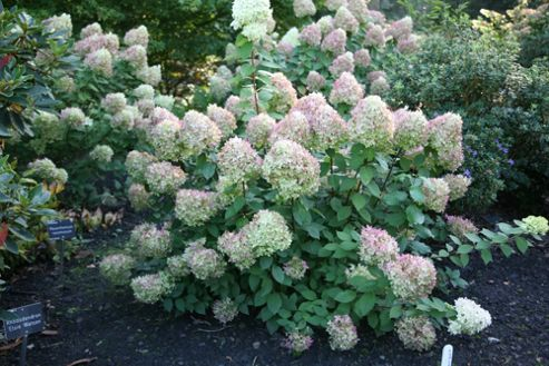 buy hydrangea hydrangea paniculata 39 limelight 39 pbr. Black Bedroom Furniture Sets. Home Design Ideas