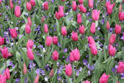 lily flowered tulip bulbs (Tulipa 'China Pink')
