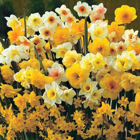 Narcissus 'Sweet Aroma Mixed' - 50 bulbs