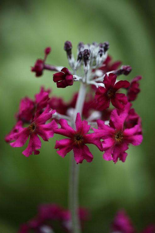 primula (Primula japonica 'Miller's Crimson')