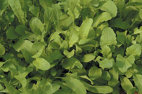 salad rocket (rocket 'Salad')