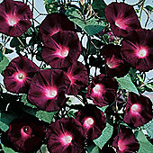 Morning Glory 'Kniolas Black Night' - 1 packet (30 seeds)