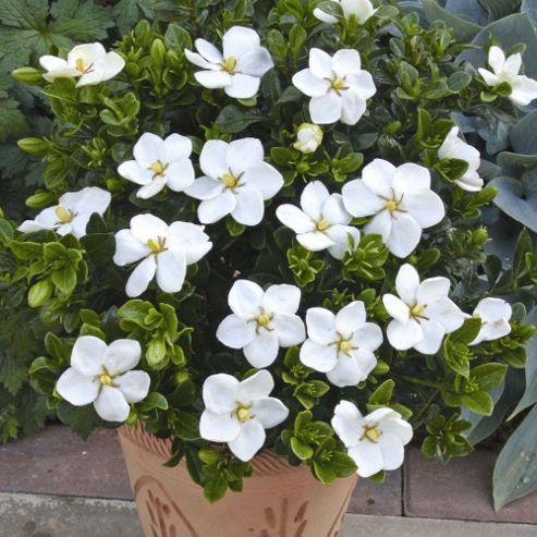 Gardenia jasminoides 'Kleim's Hardy' - 2 plants in 9cm pots