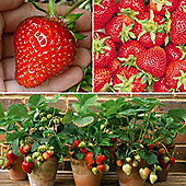 Strawberry Full Season Collection - 12 runners - 4 of each variety