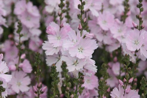 prairie mallow (Sidalcea malviflora 'Elsie Heugh')