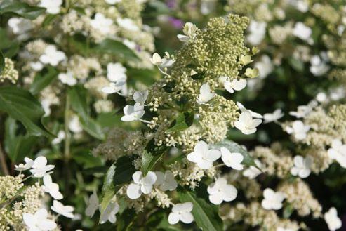 hydrangea (Hydrangea paniculata 'Kyushu')