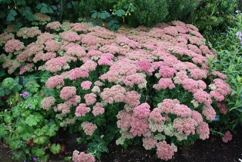 stonecrop (Sedum (Herbstfreude Group) 'Herbstfreude')