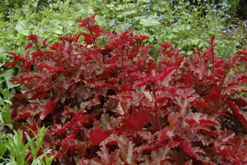 coral bells (Heuchera 'Chocolate Ruffles' (PBR))