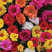 Portulaca grandiflora 'Happy Hour Mixture' - 1 packet (80 seeds)