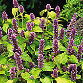 Agastache foeniculum 'Golden Jubilee' - 1 packet (20 seeds)