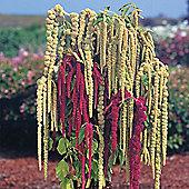 Amaranthus caudatus 'Pony Tails Mixed' - 1 packet (1000 seeds)