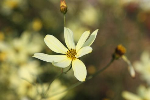 tickseed (Coreopsis verticillata 'Moonbeam')