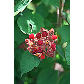 Japanese wineberry (Japanese wineberry)