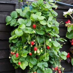 Hanging Strawberry Planter - 3 planters