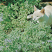 Nepeta cataria - 1 packet (225 seeds)