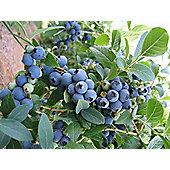 blueberry - mid-season fruiting (blueberry 'Bluecrop')
