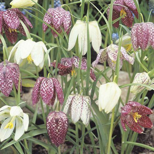 Fritillaria meleagris (Mixed) - 50 bulbs