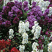 Stock 'Sweetly Scented Mixed' - Part of the Alan Titchmarsh Collection - 1 packet (200 seeds)