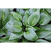 plantain lily (Hosta 'Devon Green')