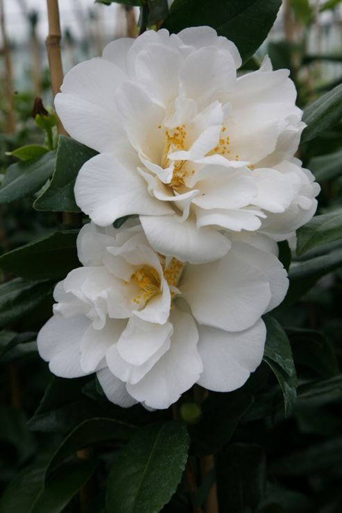 camellia (Camellia japonica 'Silver Anniversary')
