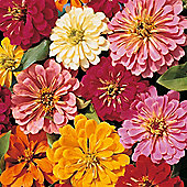 Zinnia elegans 'Magellan Mixed' F1 Hybrid - 1 packet (10 seeds)