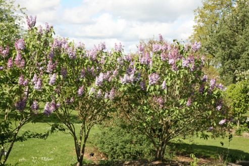 common Lilac (Syringa vulgaris 'Katherine Havemeyer')