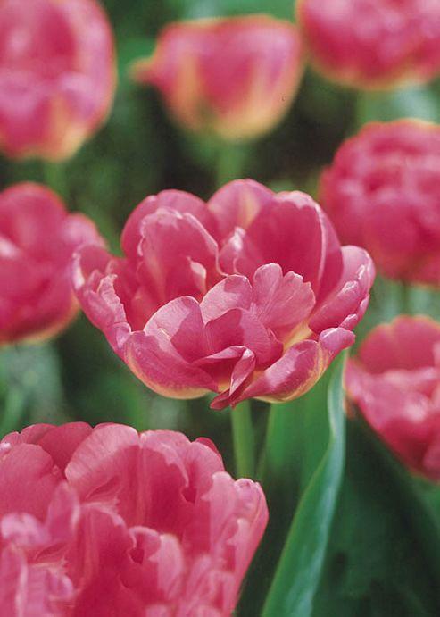 Tulip Upstar - 12 Bulbs