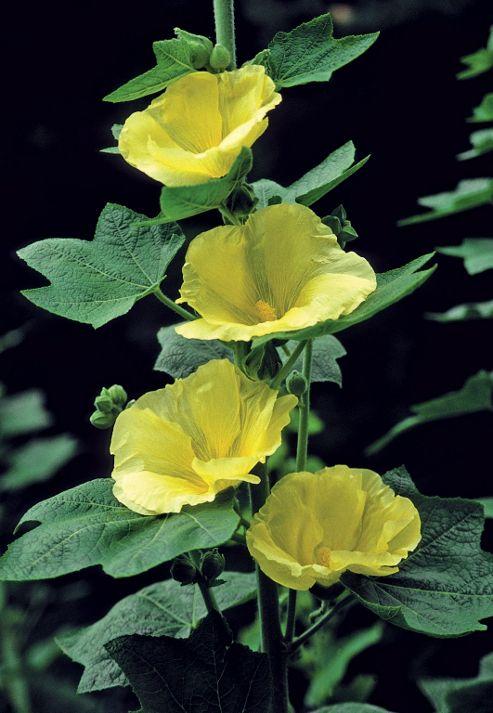 hollyhock (Alcea rosea 'Sunshine')