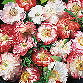 Poppy 'Picotee Mixed' - 1 packet (150 seeds)
