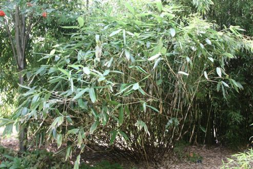 broad-leaved bamboo (Sasa palmata)