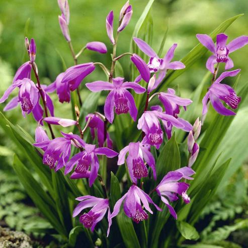 Hyacinth Orchid - 2 bareroot plants