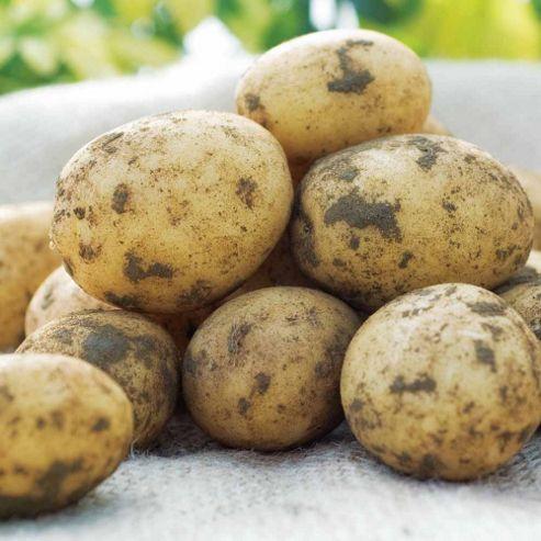 Potato 'Piccolo Star' - 5 tubers