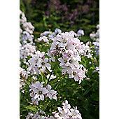 milky bellflower (Campanula lactiflora 'Loddon Anna')