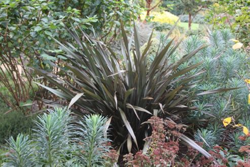 New Zealand flax (Phormium 'Bronze Baby')