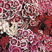 Dianthus barbatus 'Indian Carpet Mixed' - 1 packet (400 seeds)