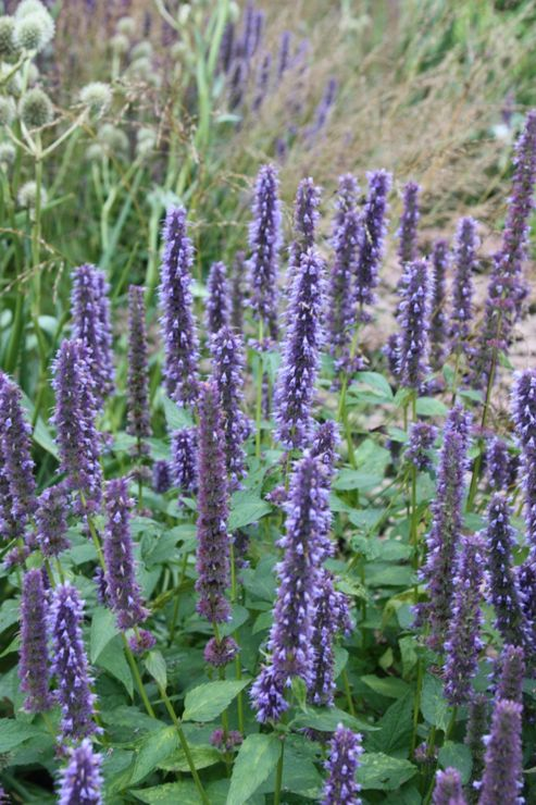 Mexican giant hyssop (Agastache 'Blue Fortune')
