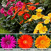 Gerbera 'Sweet Collection' - 6 x 7cm potted plants