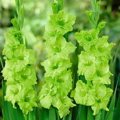 Gladiolus 'Green Star' - 10 corms