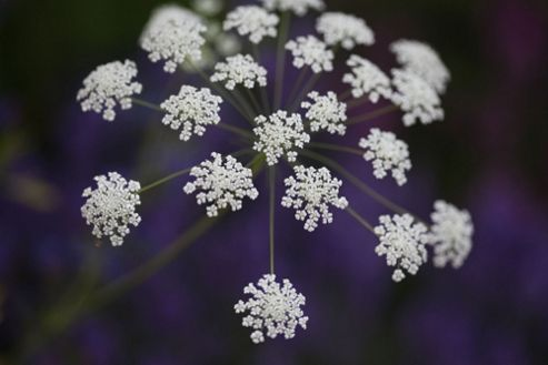 bishop's weed (Ammi majus)