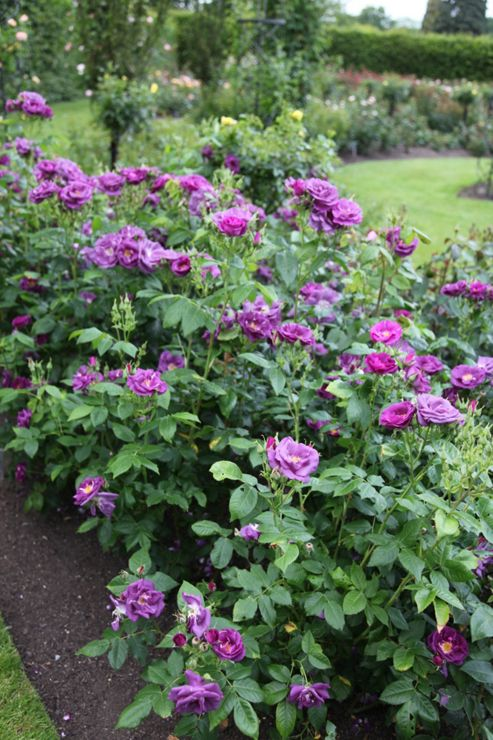rose Rhapsody in Blue (shrub) (Rosa Rhapsody in Blue ('Frantasia') (PBR))
