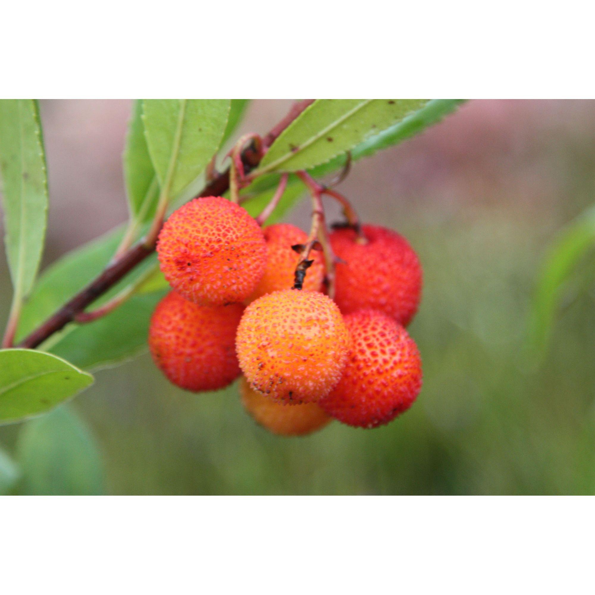 strawberry-tree-arbutus-unedo