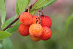 strawberry-tree (Arbutus unedo)