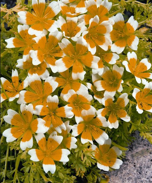 poached egg (Limnanthes douglasii)