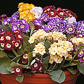Auricula 'Viennese Waltz' - 1 packet (25 seeds)