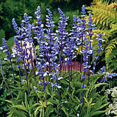 Salvia farinacea 'Fairy Queen' - 1 packet (40 seeds)