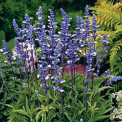 Salvia farinacea 'Fairy Queen' - 1 packet (40 seeds)